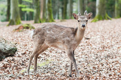 Cute young sika deer fawn. (lat. Cervus nippon) standing in the forest Royalty Free Stock Photo