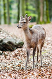 Cute young sika deer fawn. (lat. Cervus nippon) standing in the forest Stock Photos