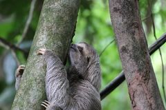 Young Sloth, Costa Rica Stock Image