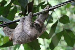 Young Sloth hanging on a cable, Costa Rica stock images
