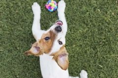 Cute young small dog playing with his toy, a ball and looking at. The camera.Pets. Green grass background stock photos