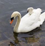 The cute young swan is riding on the back of her mother Royalty Free Stock Photos