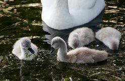 Cute young swans are eating the algae Royalty Free Stock Images