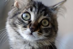 Cute young tabby cat looking. At camera stock image