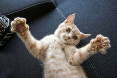 Cute young tabby cat is playing with its paws. A cute young tabby cat is playing with its paws. It is looking like it is showing something big royalty free stock photography