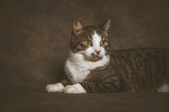 Cute young tabby cat with white chest against dark fabric background. Royalty Free Stock Photo
