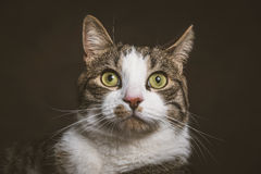 Cute young tabby cat with white chest against dark fabric background. Stock Photo