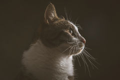 Cute young tabby cat with white chest against dark fabric background. Royalty Free Stock Photos