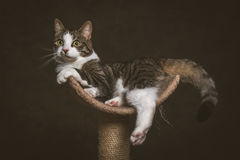 Cute young tabby cat with white chest lying on scratching post against dark fabric background. Stock Images