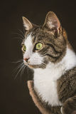 Cute young tabby cat with white chest lying on scratching post against dark fabric background. Royalty Free Stock Photos