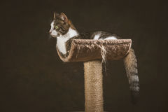 Cute young tabby cat with white chest lying on scratching post against dark fabric background. Royalty Free Stock Photo