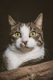 Cute young tabby cat with white chest lying on scratching post against dark fabric background. Royalty Free Stock Image