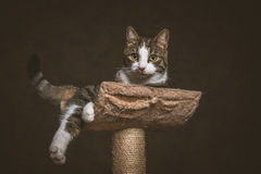 Cute young tabby cat with white chest lying on scratching post against dark fabric background. Stock Image