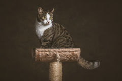 Cute young tabby cat with white chest sitting on scratching post against dark fabric background. Royalty Free Stock Photography