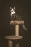 Cute young tabby cat with white chest sitting on scratching post against dark fabric background. Stock Image