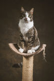 Cute young tabby cat with white chest sitting on scratching post against dark fabric background. Stock Images