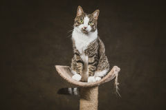 Cute young tabby cat with white chest sitting on scratching post against dark fabric background. Royalty Free Stock Photos