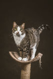 Cute young tabby cat with white chest standing on scratching post against dark fabric background. Royalty Free Stock Photo
