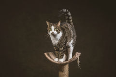 Cute young tabby cat with white chest standing on scratching post against dark fabric background. Stock Images