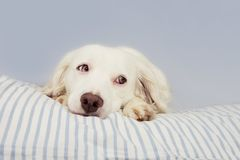 CUTE YOUNG TERRIER DOG WITH BLUE EYES FALLING ASLEEP ON STRIPPED BED OWNER. SICK,SAD, FEAR OR RELAXING.  stock photo
