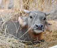 Cute young water buffalo Royalty Free Stock Image