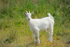 Cute young white goat Stock Photo