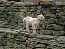 Cute young white lamb, Nepal Royalty Free Stock Image