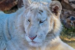 A cute young White tiger cub in a game reserve royalty free stock photos