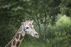 Cute young wild giraffe close up portrait. Sad giraffe. Stock Image
