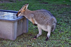 Cute young wild grey kangaroo drinking water Royalty Free Stock Images