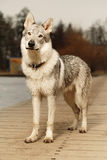 Cute young wofdog male on wooden pier Stock Photography