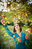 Cute young woman picking apples in an orchard stock photography