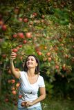 Cute young woman picking apples in an orchard stock image