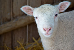 Cute young woolly lamb Royalty Free Stock Image