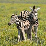 Cute young zebra with mother Royalty Free Stock Image