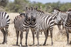 Cute zebras posing heads together, Serengeti, Tanzania Royalty Free Stock Photos