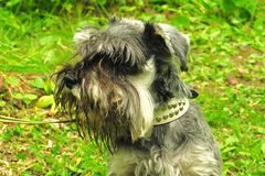 Cute zwergschnauzer puppy is standing on a spring meadow stock image