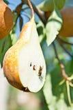 Cuted Birne auf Baum mit Mittellinie lizenzfreies stockbild