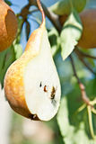 Cuted pear on tree with axis Royalty Free Stock Image