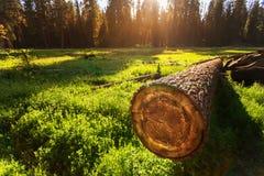 Cuted träd på grön äng på solnedgången Fotografering för Bildbyråer