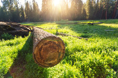 Cuted tree on green meadow at sunset Stock Photos