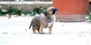 Cutee mixed breed puppy with deformity of front leg. Image stock photography