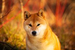 Cutel red shiba inu dog sitting on the grass in the forest at golden sunset. Close-up portrait of cute and happy shiba inu dog sitting on the grass in the forest royalty free stock photo