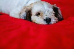 Cutely белая собака tzu Shih коротких волос на красной предпосылке ткани Стоковые Изображения