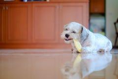 Cutely biały krótkiego włosy Shih tzu pies jest szczęśliwy nadgryzać przy mango zdjęcia royalty free