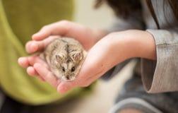 Cuteness del criceto in mani di un bambino fotografie stock