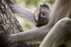 Cuteness Overloaded. The safest place in the world is mom's lap. This baby langur was in mom's lap and quite curious about the surroundings Royalty Free Stock Images