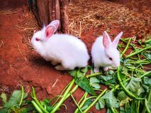 Cuteness of two white rabbits stock photography