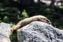 Relaxing. This cutest animal at mount rainier in Washington state lovely day to see this royalty free stock image
