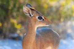 The cutest antelope Dik-Dik Royalty Free Stock Image